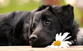 A very pretty black dog